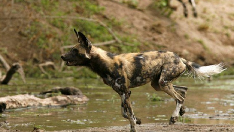 wild dog 1 - Unique anatomy helps the African wild dog sustain its life on the run