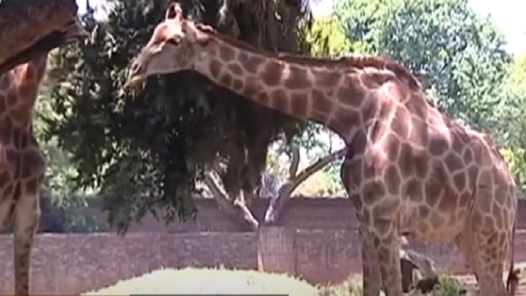 Pretoria Zoo welcomes giraffe calf - SABC News - Breaking news, special reports, world, business, sport coverage of all South African current events. Africa's news leader.
