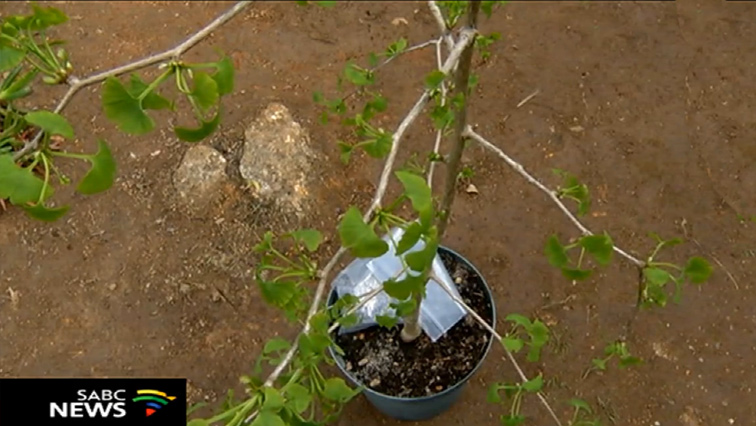 SABC News Tree Planting - Trees planted in honour of murdered Cape Flats youngsters