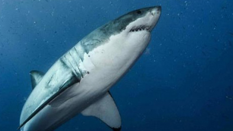 SABC News real Jaws Great white sharks genetic secrets revealed Reuters - Great White Sharks have not completely disappeared from South African waters