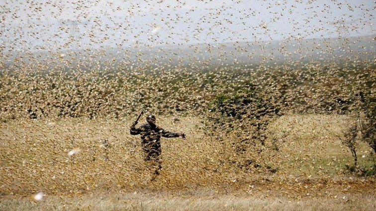 Locust swarms REUTERS - Locust outbreak grips parts of SA