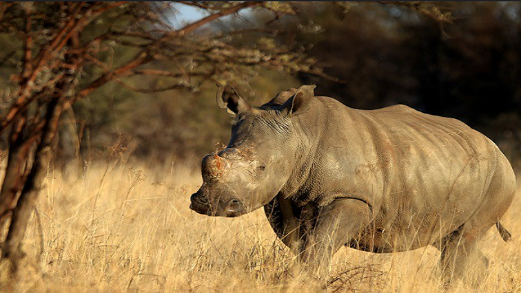 Rietvlei Nature Reserve discovers a newborn rhino calf - SABC News - Breaking news, special reports, world, business, sport coverage of all South African current events. Africa's news leader.