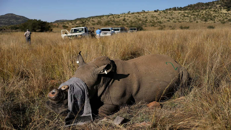 SAN-Parks shocked at the killing of suspected rhino poaching kingpin - SABC News - Breaking news, special reports, world, business, sport coverage of all South African current events. Africa's news leader.